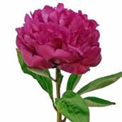 Peony-Wedding-Flower-Hot-Pink-250