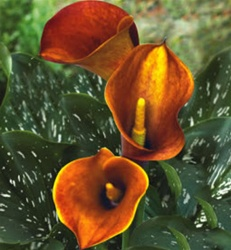 CALLA-MINI-OR-MANGO-2T