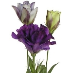 Lissianthus_Purple_Flower_150