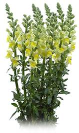 Snapdragon_Yellow