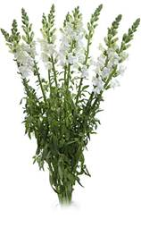Snapdragon_White